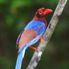 1 Blue Magpie