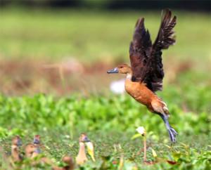 Fulvus Wisling-duck