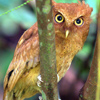 Serendid Scops Owl© Uditha Hettige