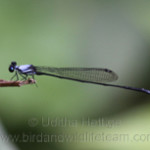 Jungle Threadtail (Elattoneura caesia