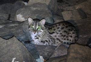 Fishing Cat 1