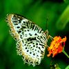 Ceylon Lacewing© Uditha Hettige