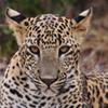 leopard a