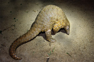 Indian Pangolin (Manis crassicaudata)
